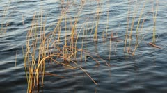 0169 autumn bulrush in the lake water - stock footage