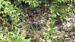 Stock Video Footage of rattlesnakes