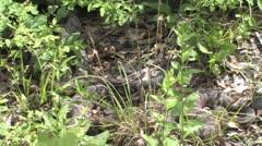 Rattlesnakes Stock Footage