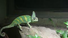 Kameleon walking slowly - stock footage