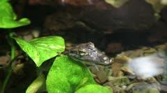 Crocodile or alligator baby - stock footage