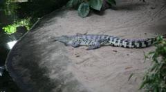 Crocodile or alligator up close - stock footage
