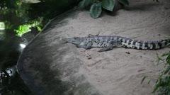 Crocodile with open eyes - stock footage