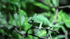 Funny green Kameleon - stock footage