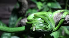 Green snakes - stock footage