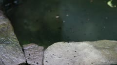 Lizard up from water Stock Footage