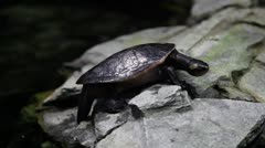 Turtle on rocks Stock Footage