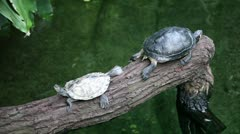Turtles on a branch over water Stock Footage