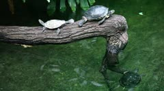 turtles relaxing and swimming - stock footage