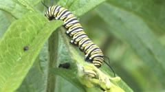 monarch caterpillar - stock footage