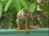 Stock Video Footage of WorldClips-Squirrel Monkey Scratch