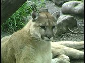 Stock Video Footage of WorldClips-Cougar-ms