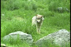 WorldClips-Wolf Stock Footage