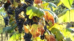Grapevine Stock Footage
