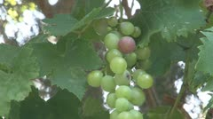 Cyprus, Grapes in tree Stock Footage