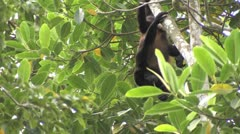 howler monkey - stock footage
