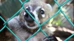 Tejon captivity Stock Footage
