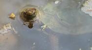 Stock Video Footage of Terrain turtle