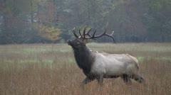 Bull elk strutting Stock Footage