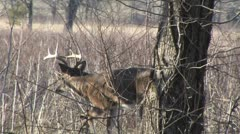 Whitetail buck in weeds Stock Footage
