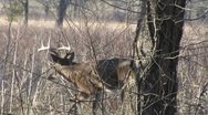 Stock Video Footage of whitetail buck in weeds