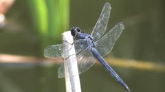blue dragonfly - stock footage