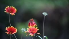 orange flowers with yellow tips - stock footage