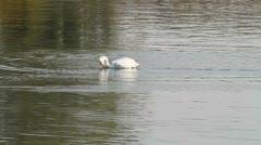 Pelican eating fish , Location: Kerkini lake, Greece Stock Footage