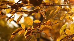 Elm Autumn Leaves 02 close up Stock Footage