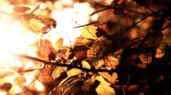Elm Autumn Leaves 04 close up stylized Stock Footage