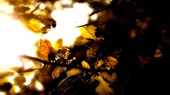 Elm Autumn Leaves 05 close up stylized high contrast Stock Footage