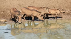 Warthogs at the waterhole, African wildlife, Mkuze game reserve, South Africa Stock Footage