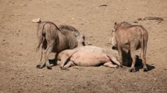 Warthog family - stock footage