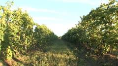 Backyard Of Wine - stock footage