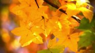 Stock Video Footage of Fall Yellow Leaves in the Wind