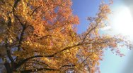 Stock Video Footage of Fall Tree with Sun Flare - Background