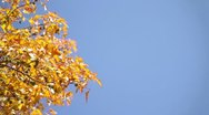 Stock Video Footage of Fall Leaves and Blue Sky - background