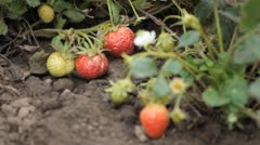 Stock Video Footage of Fragaria, Strawberry, Fruits Orchard, Ecological Farmer, Organic Horticulture