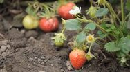 Fragaria, Strawberry, Fruits Orchard, Ecological Farmer, Organic Horticulture Stock Footage