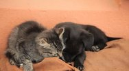 Stock Video Footage of Beautiful Kitty and Little Black Puppy Loving, Cat, Housecat, Domestic Cat, Dog