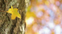 Yellow Leaf on Tree Stock Footage