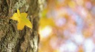Stock Video Footage of Yellow Leaf on Tree
