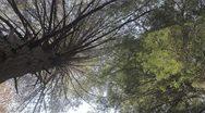 Eastern hemlock trunk Stock Footage