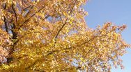 Stock Video Footage of Fall Sweet Gum Tree