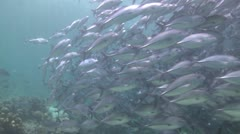 Large school of big eye trevallies (Jacks) 5 Stock Footage