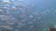 Stock Video Footage of Massive School of Bigeye Trevallies (Jacks)