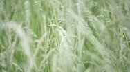 Stock Video Footage of grass in wind