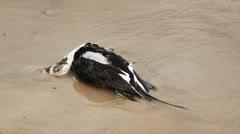 Dead duck. Two shots. Stock Footage