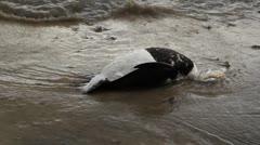 Dead duck. Stock Footage