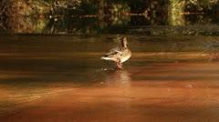 Female Mallard Waddles Away on Oak Creek Stock Footage